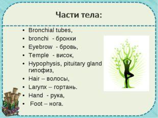 Bronchial tubes, bronchi - бронхи Eyebrow - бровь, Temple - висок, Hypophysi