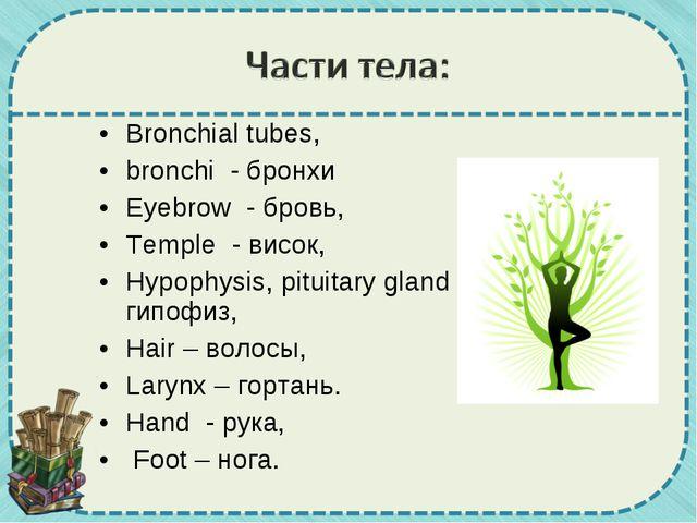Bronchial tubes, bronchi - бронхи Eyebrow - бровь, Temple - висок, Hypophysi...