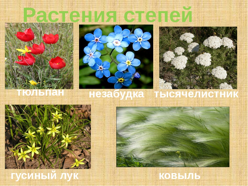 Растения степей тюльпан незабудка тысячелистник гусиный лук ковыль
