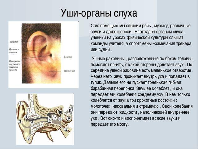 Уши-органы слуха С их помощью мы слышим речь , музыку, различные звуки и даже...