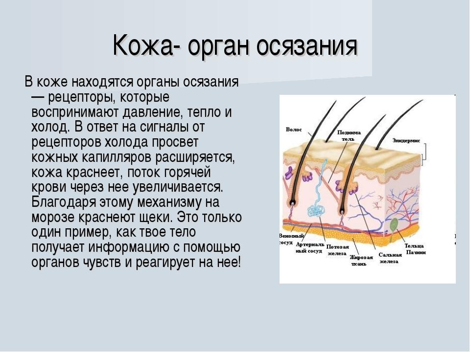 Кожа- орган осязания В коже находятся органы осязания — рецепторы, которые во...