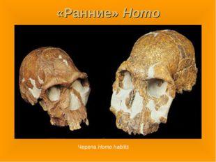 «Ранние» Homo Черепа Homo habilis