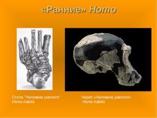 "«Ранние» Homo Стопа ""Человека умелого"" Homo habilis Череп «Человека умелого»"