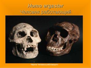Homo ergaster Человек работающий Черепа Человека работающего