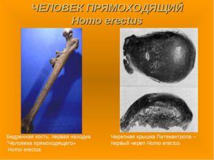 """ЧЕЛОВЕК ПРЯМОХОДЯЩИЙ Homo erectus Бедренная кость, первая находка """"Человека п"""