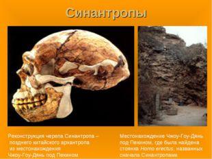 Синантропы Реконструкция черепа Синантропа – позднего китайского архантропа и