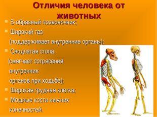Отличия человека от животных S-образный позвоночник; Широкий таз (поддерживае
