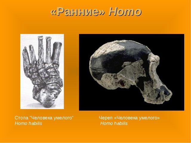 "«Ранние» Homo Стопа ""Человека умелого"" Homo habilis Череп «Человека умелого»..."