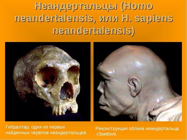 Неандертальцы (Homo neandertalensis, или H. sapiens neandertalensis) Гибралта...