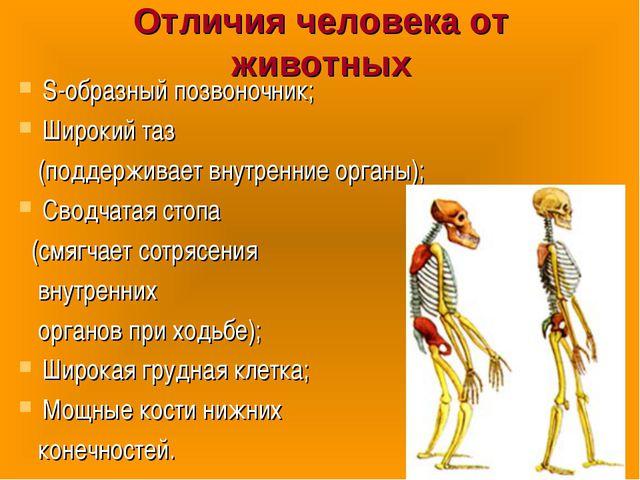Отличия человека от животных S-образный позвоночник; Широкий таз (поддерживае...