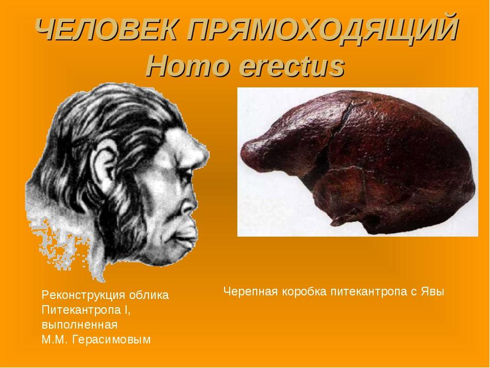 ЧЕЛОВЕК ПРЯМОХОДЯЩИЙ Homo erectus Реконструкция облика Питекантропа I, выполн...