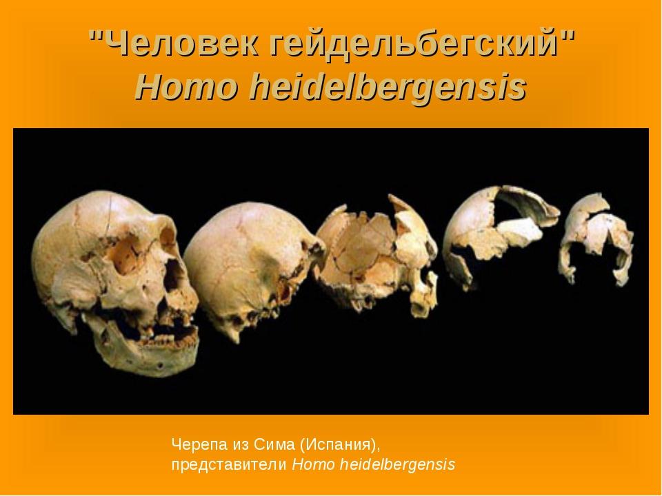 """""""Человек гейдельбегский"""" Homo heidelbergensis Черепа из Сима (Испания), предс..."""