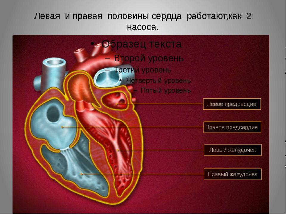 Левая и правая половины сердца работают,как 2 насоса.