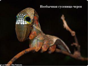Необычная гусеница-череп