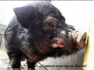 Свиньи-монстры из Китая!
