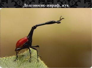 Долгоносик-жираф, жук