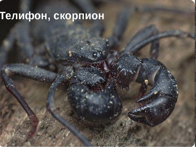 Телифон, скорпион
