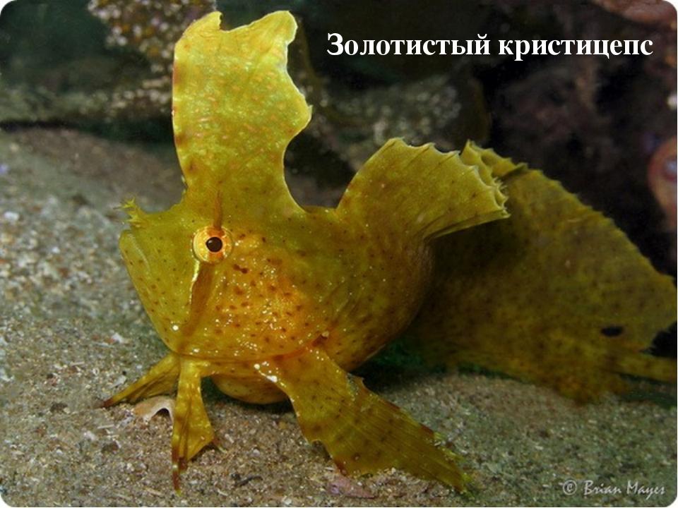 Золотистый кристицепс