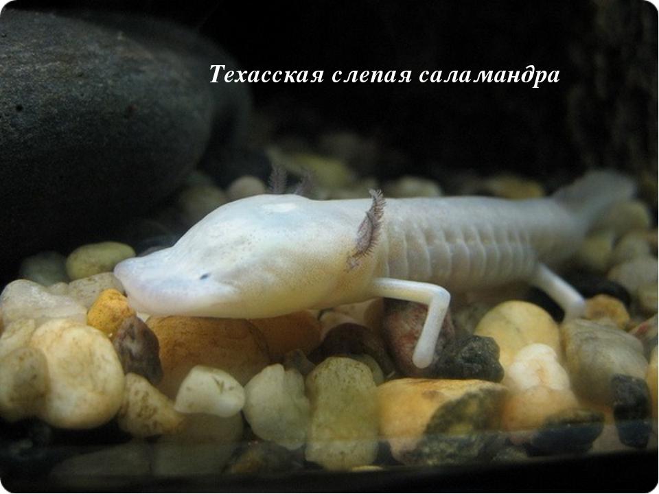 Техасская слепая саламандра