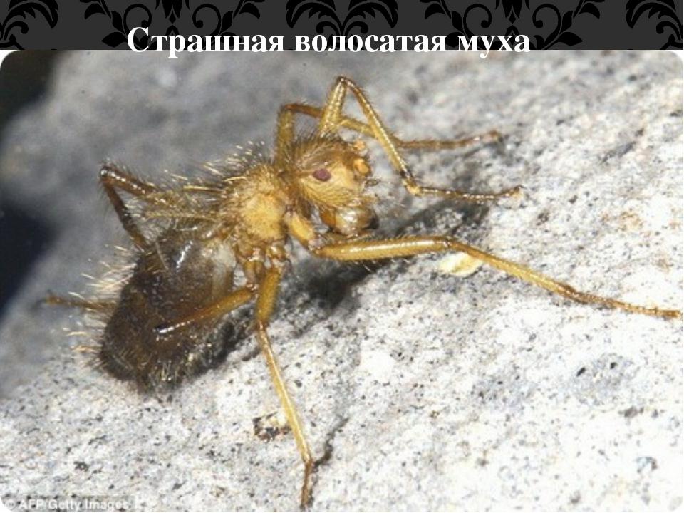 Страшная волосатая муха