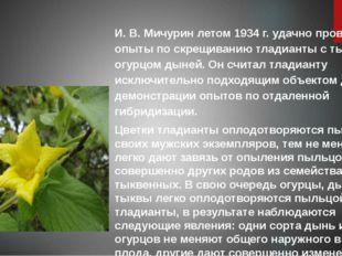 И. В. Мичурин летом 1934 г. удачно провел опыты по скрещиванию тладианты с ты