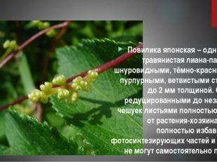 Повилика японская – однолетняя, травянистая лиана-паразит со шнуровидными, т