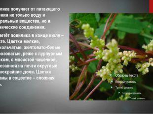 Повилика получает от питающего растения не только воду и минеральные вещества