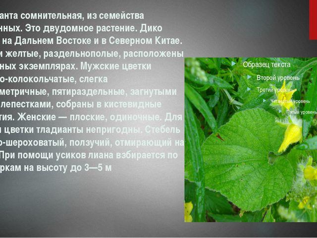 Тладианта сомнительная, из семейства тыквенных. Это двудомное растение. Дико...