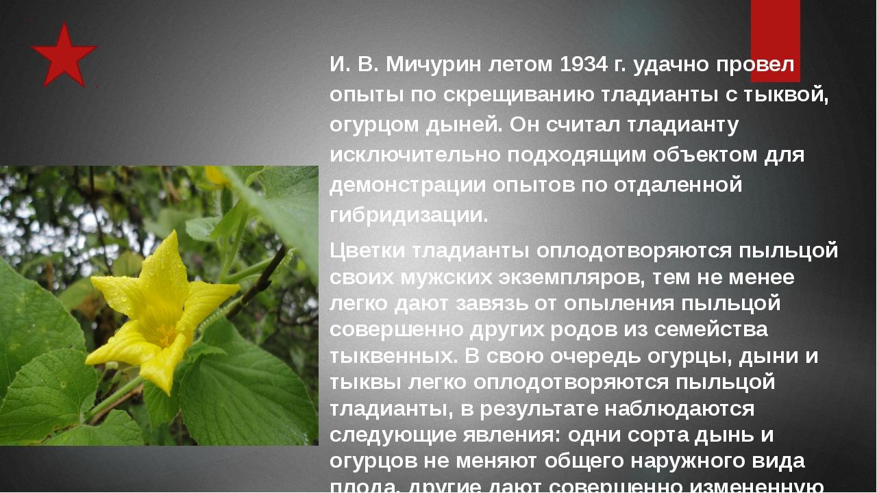 И. В. Мичурин летом 1934 г. удачно провел опыты по скрещиванию тладианты с ты...