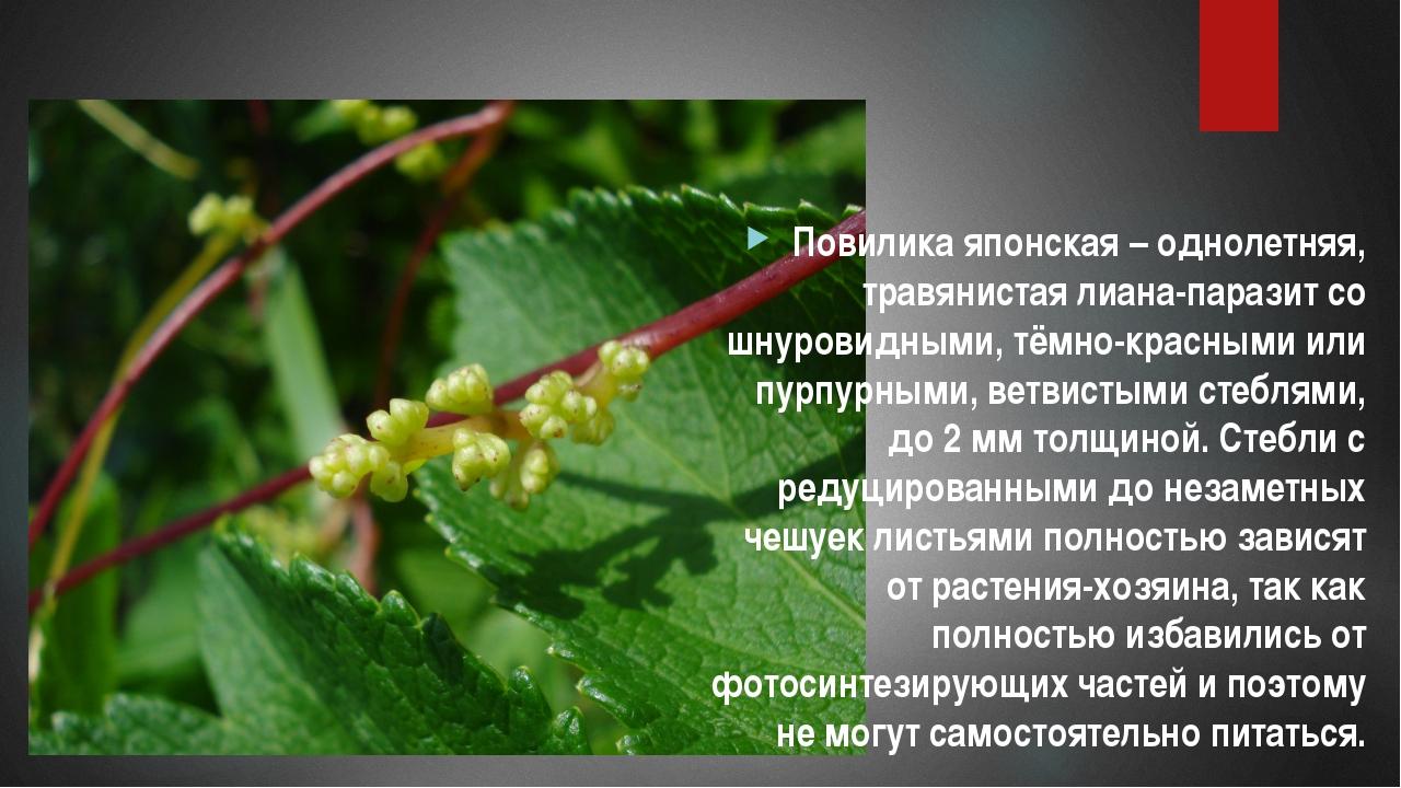 Повилика японская – однолетняя, травянистая лиана-паразит со шнуровидными, т...