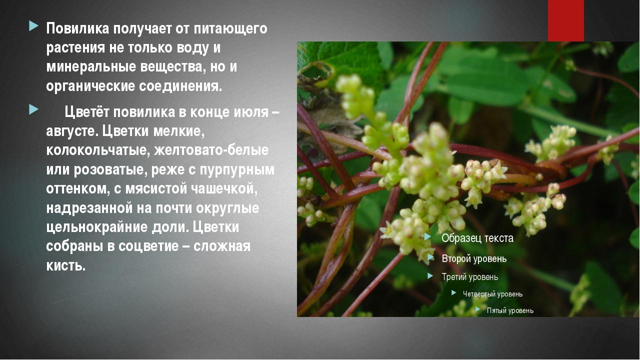 Повилика получает от питающего растения не только воду и минеральные вещества...