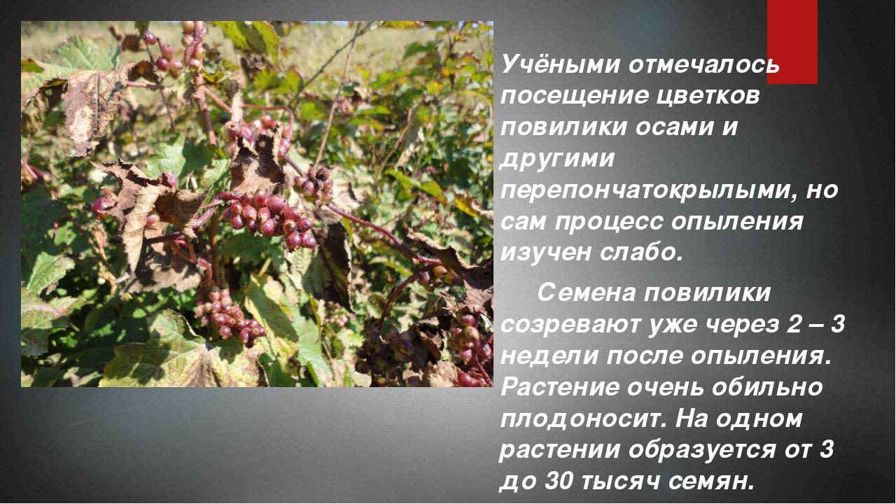 Учёными отмечалось посещение цветков повилики осами и другими перепончатокры...