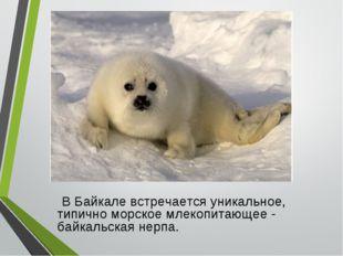 В Байкале встречается уникальное, типично морское млекопитающее - байкальска
