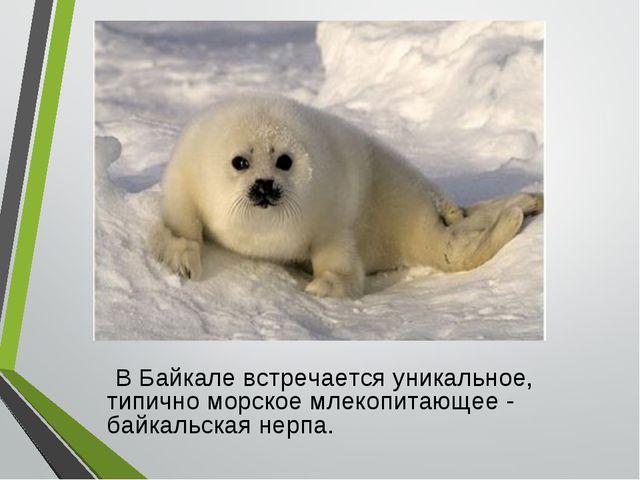 В Байкале встречается уникальное, типично морское млекопитающее - байкальска...