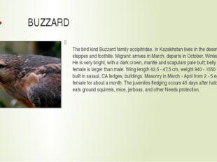 BUZZARD The bird kind Buzzard family accipitridae. In Kazakhstan lives in the