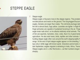 STEPPE EAGLE Steppe eagle Steppe eagle or Buzzard, lives in the steppe region