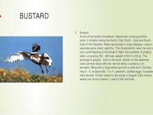 BUSTARD Bustard A bird of the family of bustards, detachment among gruiform b