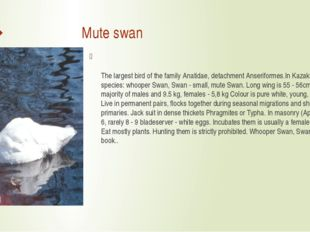 Mute swan The largest bird of the family Anatidae, detachment Anseriformes.I