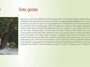 Grey goose Grey goose is very timid waterfowl bird that flies great. Most of