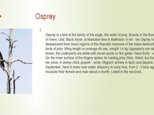 Osprey Osprey is a bird of the family of the eagle, the order of prey. Breed