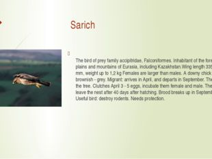 Sarich The bird of prey family accipitridae, Falconiformes. Inhabitant of th