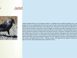 Jackdaw Jackdawcompared with the crow, the magpie and Graham - the smallest