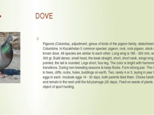 DOVE Pigeons (Columba), adjustment, genus of birds of the pigeon family, det