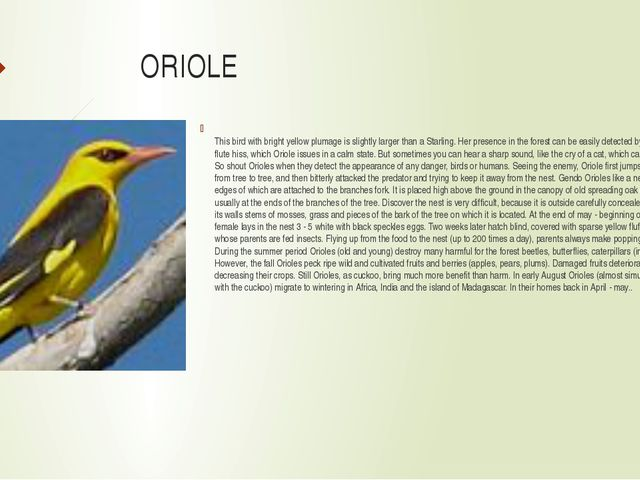 ORIOLE This bird with bright yellow plumage is slightly larger than a Starli...