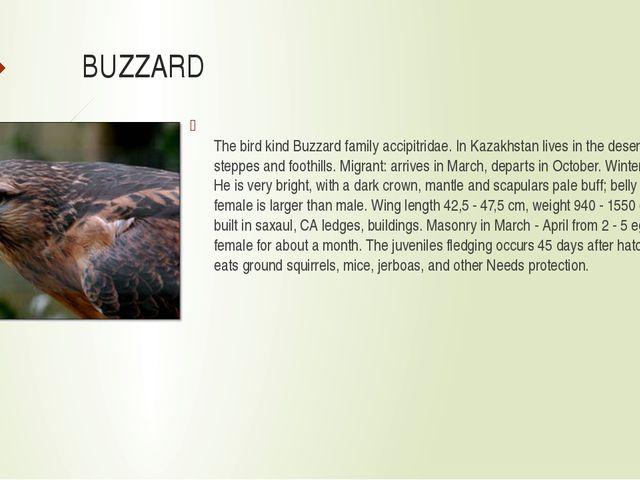 BUZZARD The bird kind Buzzard family accipitridae. In Kazakhstan lives in the...