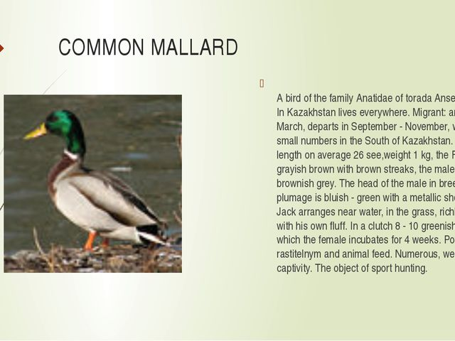 COMMON MALLARD A bird of the family Anatidae of torada Anseriformes. In Kazak...