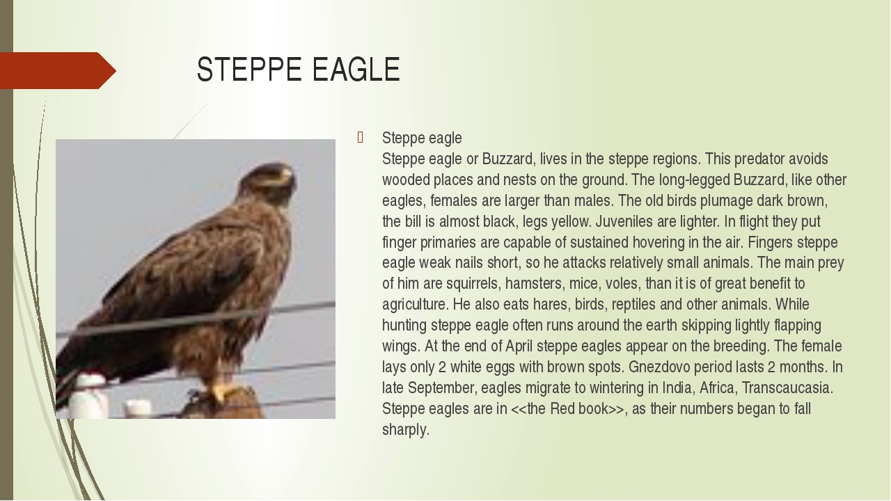 STEPPE EAGLE Steppe eagle Steppe eagle or Buzzard, lives in the steppe region...