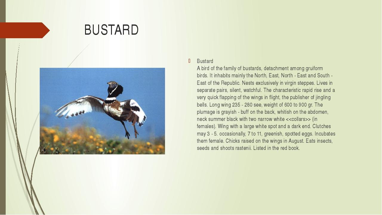 BUSTARD Bustard A bird of the family of bustards, detachment among gruiform b...