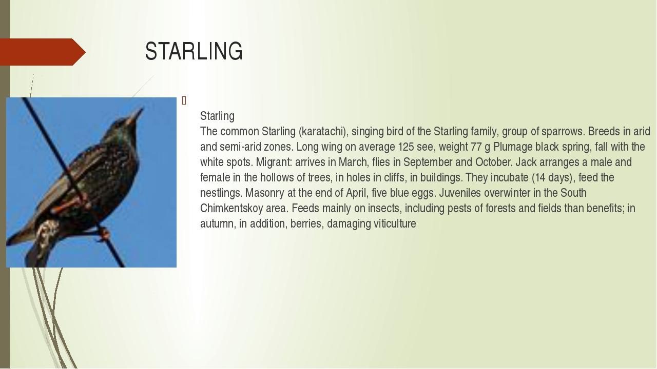 STARLING Starling The common Starling (karatachi), singing bird of the Starli...