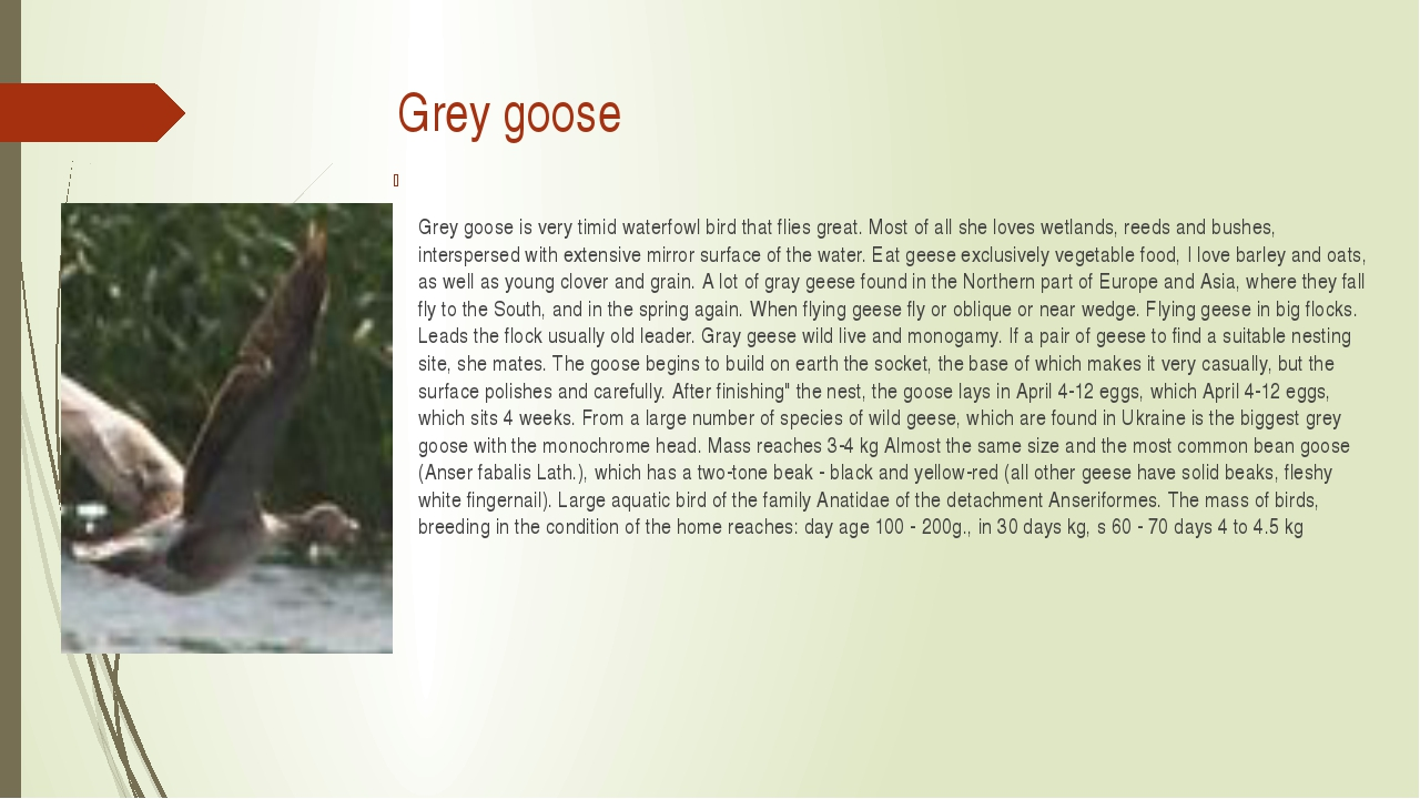 Grey goose Grey goose is very timid waterfowl bird that flies great. Most of...